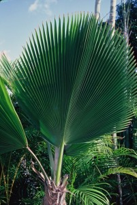 The photo of the palm frond, taken in front of a house in a swanky part of Honolulu, that was the basis for the shirt's design (Photo: Dale Hope)