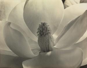 "Imogen Cunningham's ""Magnolia Blossom."""